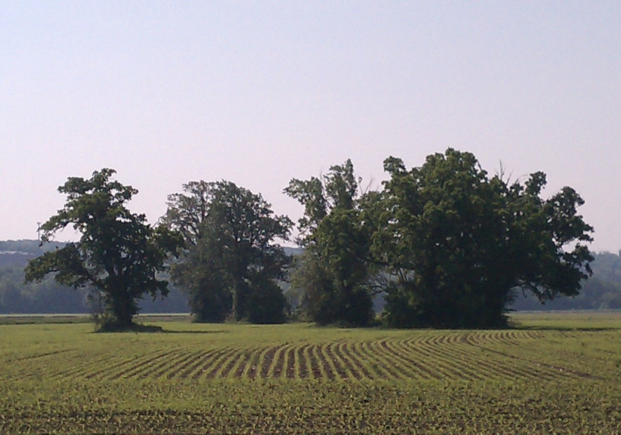 Corn Field in Late May